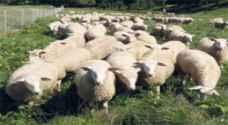 رفع الحظر عن استيراد الاغنام الحية من رومانيا