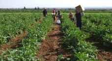 الزراعة: لا اضرار بالمحاصيل جراء موجات الحر المتتالية