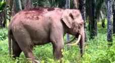حالة نادرة لفيل يتجه ناباه لأسفل