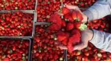 غزة تصدر الفراولة إلى أوروبا
