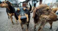 رئيس بلدية مادبا: الكلاب تغزو المحافظة وقتلنا 800 منها