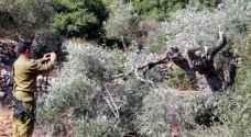 الاحتلال يبدأ باقتلاع 2000 شجرة زيتون شرق قلقيلية
