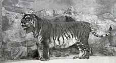 علماء يجدون طريقة لإحياء النمور المنقرضة