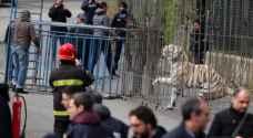 بالفيديو: كيف سيطروا على نمر هرب وسط السكان في مدينة إيطالية