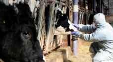 تطعيم جميع الماشية في كوريا الجنوبية ضد الحمى القلاعية