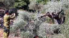 الاحتلال يقتلع 135 شجرة زيتون في وادي قانا شمال غرب سلفيت