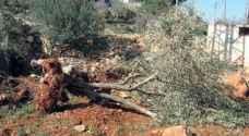الاحتلال يقتلع اشجار زيتون في سلفيت