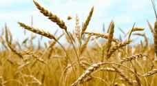 الزراعة تحذر مزارعي القمح والشعير من وقوع الحرائق