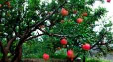 الزراعة توعز بتوفير مبيدات مكافحة ذبابة الرمان