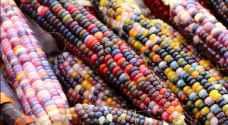 مزارع تركي ينتج ذرة بتسعة ألوان..صور