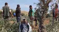 مستوطنون يهاجمون قاطفي الزيتون في دير الحطب