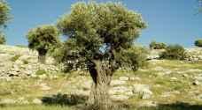 الحنيفات: شجرة الزيتون الأولى في الأردن