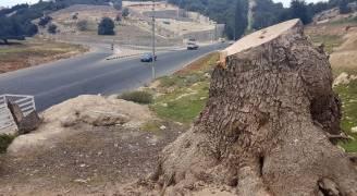 بالفيديو.. مجازر بحق الأشجار المعمرة غرب عمان بموافقة الزراعة