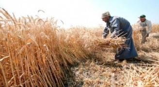 مصر تشتري مليوني طن قمحا من المزارعين المحليين