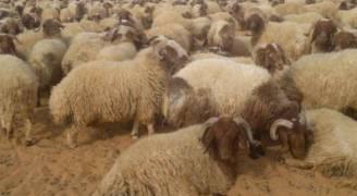 الزراعة ترفض السماح باستيراد سلالات مشابهة للخراف الأردنية
