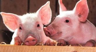 خطوة جديدة لتحويل الخنازير إلى بنك للأعضاء البشرية