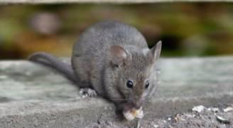 شوارع برمنغهام البريطانية تتحول إلى 'فنادق للفئران'