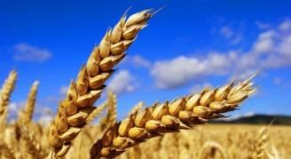 احتياط سوريا من القمح يكفي لستة أشهر