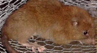 اكتشاف فئران بطول نصف متر  بجزر سليمان