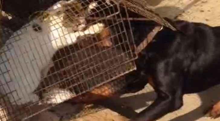 ينتقم من قطة ويقدمها حية وجبة لكلابه المفترسة