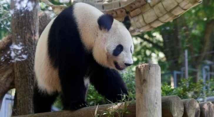 لباندا شين شين في حديقة حيوان أوينو في طوكيو