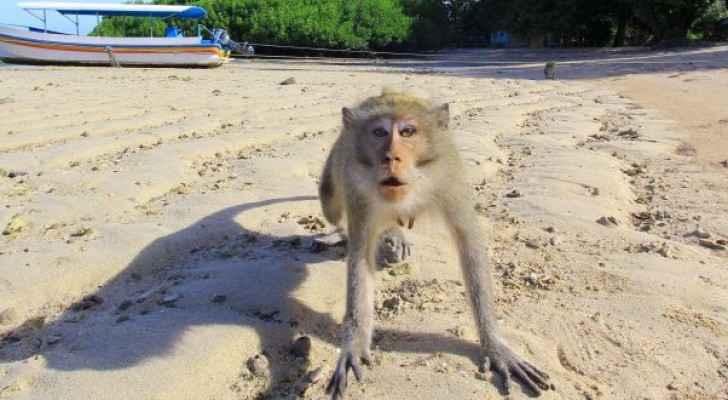 إندونيسيا تستعين بالشرطة لطرد القرود من المناطق السكنية