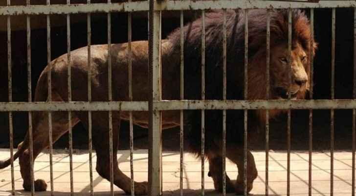 نتيجة بحث الصور عن إجلاء أسود ونمور ودببة من سوريا إلى الأردن