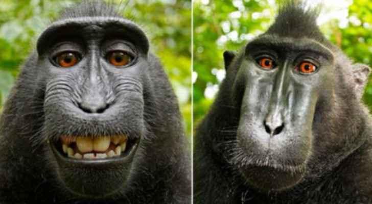 قرد يدعى ناروتو، وقد التقط لنفسه صورة في الغابة الإندونيسية عام 2011