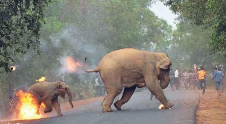 هنود يرشقون فيلين بكرات النار والألعاب الناري في البنغال