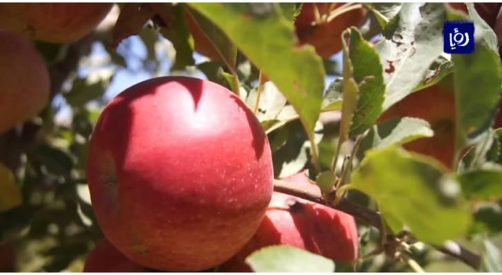 الشوبك .. أرض التفاح