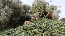 زراعة إربد تدعو المزارعين لتأخير قطف الزيتون
