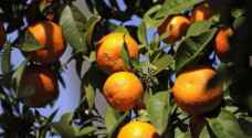 الحنيفات: استمرار منع استيراد الحمضيات