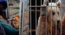 نقل 'سمبا ولولا' الحيوانان الناجيان من الموصل الى الاردن