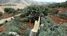 مستوطنون يقتلعون عشرات أشتال الزيتون في نابلس