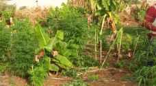 ضبط ١٠٠ كغم مارجوانا بمداهمة مزرعة في البلقاء