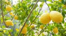 عودة ارتفاع أسعار الليمون في الأسواق الأردنية