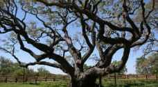 شجرة سنديان.. هدية الرئيس الفرنسي لترمب