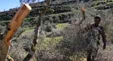 مستوطنون يقطعون 350 شجرة في بيت لحم