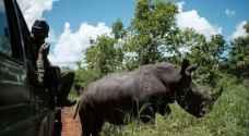 الأسود تنتقم لوحيد القرن من صيادين في جنوب أفريقيا