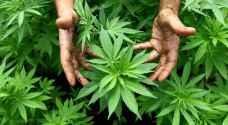 """لبنان يستعد لتشريع زراعة """"الحشيش"""" لاستخدامات طبية"""