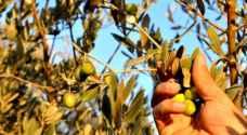 """""""الزراعة"""" تحدد موعد قطف الزيتون لغايات العَصر والكبس لموسم 2018"""