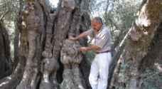 أكبر شجرة زيتون فلسطينية معمّرة تتحدى جدار الإحتلال