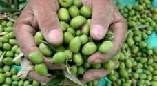الإحتلال يستحوذ على صادرات الزيتون الأردني