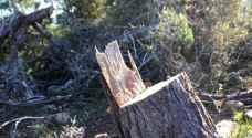 """""""الزراعة"""" توضح حول قطع أشجار في عجلون"""