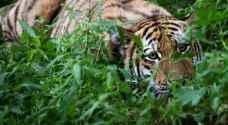 واقعة غير مسبوقة... نمر يخرج من الغابة طالبا مساعدة البشر