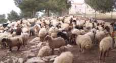 أعباء مادية كبيرة يعانيها مربو الماشية في مادبا.. فيديو