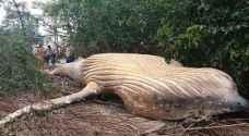 العثور على حوت عمره سنة في غابات الأمازون.. والعلماء في حيرة