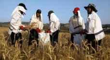 المستوطنون في غزة يحصدون القمح قبل جفافه خوفا من البالونات الحارقة