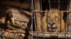 نقل 40 حيوانًا من غزة للأردن بسبب ظروفها المعيشية والنفسية الصعبة .. صور