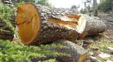 مجهولون يقطعون 90 شجرة في عجلون